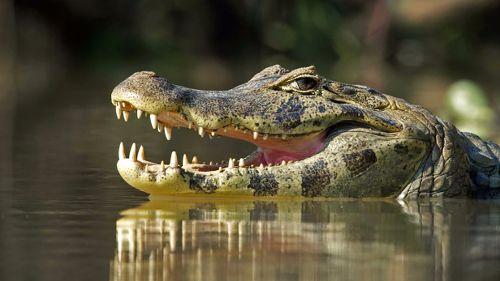 Jaguars vs. Crocs