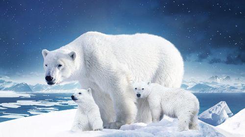 Ours des glaces