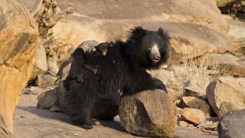 Baloo le paresseux