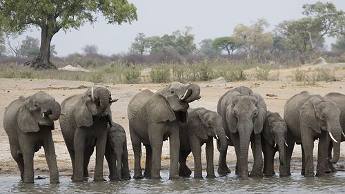 Les derniers grands éléphants