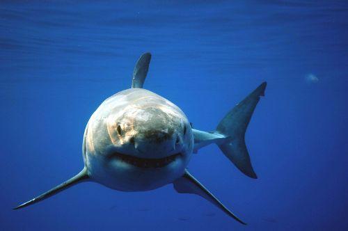 Great White Shark: Uncaged