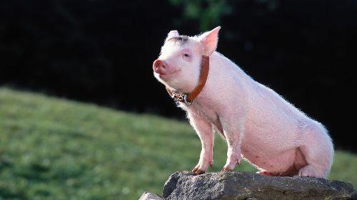 Ein Schweinchen namens Babe