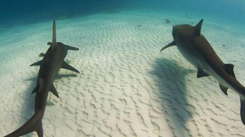 La nuit des requins-tigres