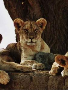Les lionnes de la rivière de sable